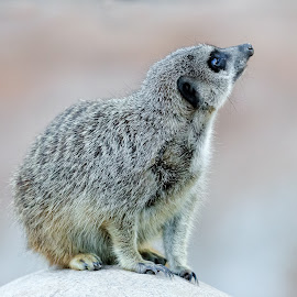 Meerkat by Dave Lipchen - Animals Other Mammals ( meerkat )