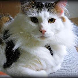 Ivan Bug by Rebekah Abernathy - Animals - Cats Portraits ( nikon, cats, long hair, cat, seattle, portrait, washington, cute, pet )