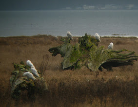 Photo: Birds of a feather ... Snowy Owls at Boundary Bay, SW B.C.