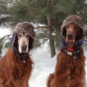 Tired of Winter by Susan Hughes - Animals - Dogs Portraits ( winter, irish setter, snow,  )