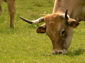 Photo: la race Aubrac