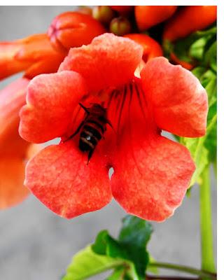 Ape nel fiore di luciano55