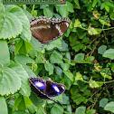 Oriental Great eggfly.