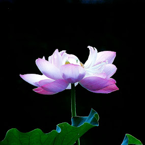 Standing Proud by Francisco Little - Flowers Single Flower ( lily, glory, bloom, pink, china,  )