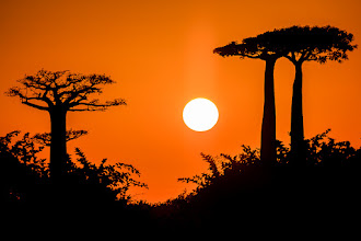 Photo: Baobab Sunrise  All the eclipse photos I've been seeing lately made me want to take a look back through some sun photos of my own. Here's one I found, taken early one morning in Madagascar as the sun rose between some baobab trees. This was a beautiful spot and, apart from a few local villagers going about their morning routine, I was the only one there.  #africantuesday, curated by +Morkel Erasmus and +Johan Swanepoel (+African Tuesday) #TreeTuesday, curated by +Christina Lawrie and +Shannon S. Myers (+Tree Tuesday) #sunrise