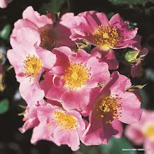 Photo: Bodendecker Pink Bassino�, Z�chter: W. Kordes' S�hne 1995