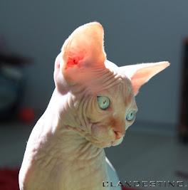 Extrme noir poilu chatte