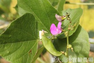 Photo: 拍攝地點: 春陽-民俗植物園 拍攝植物: 鵲豆 拍攝日期:2012_10_29_FY