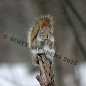 american red squirrel,Pine squirrel
