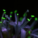 Fortune Plant Flower