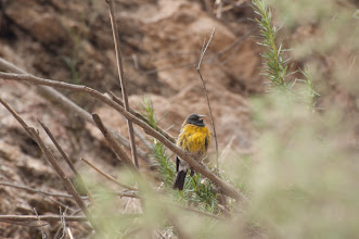 Photo: Blue-and-yellow Tanager (Furchentangare); Valle Cachaquí, ARG