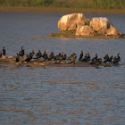 Little Cormorant (Flocks)