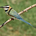 Bee-eater  -  White-throated Bee-eater