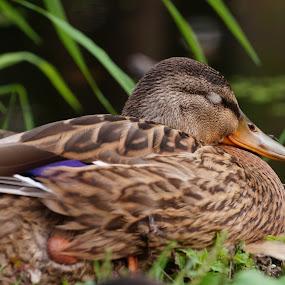 Sleeping American Black Duck by Joe Spandrusyszyn - Animals Birds ( bird, anas rubripes, duck, dabbling duck, american black duck, animal )