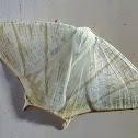 Primula Swallowtail Moth