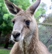 Photo: Year 2 Day 153 - Yet Another Roo