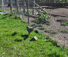 Photo: Chickens all over.