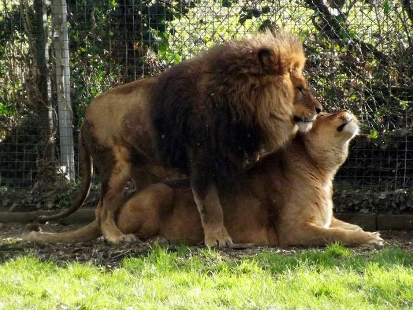 Lion et lionne, Refuge de l'Arche - Tous droits réservés