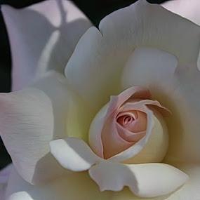 Fragile by Toni Haas - Flowers Single Flower ( rose, petals, white, pink, flower, singleflower,  )
