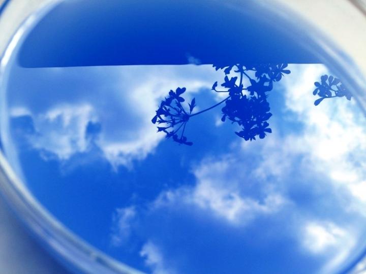 Blue bloom di knicks