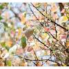 Ficus religiosa L 菩提榕