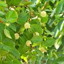 Mytragyna parvifolia