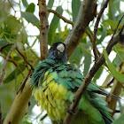 Australian ringneck parakeet