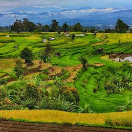 Sawah 2 by Syafriadi S Yatim - Landscapes Travel ( #sawah #terasering #pariyangan #sumatera barat #indonesia #minangkabau )