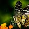 Butterfly-Macro-Single-1.jpg
