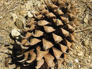 Photo: Coulter pine cone (Pinus coulteri), one of the heaviest cones of all the conifers