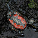 Western Painted Turtle (Young Deceased)