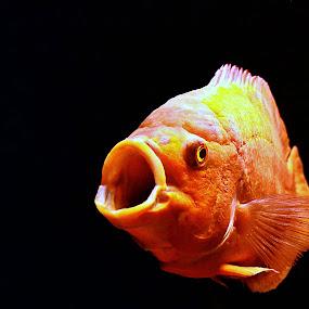 Astronotus Ocellatus by Dhannie Setiawan - Animals Fish ( black background, big fish, underwater, fish, yellow,  )