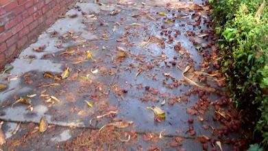 Photo: Figs litter sidwalk Santa Barbara