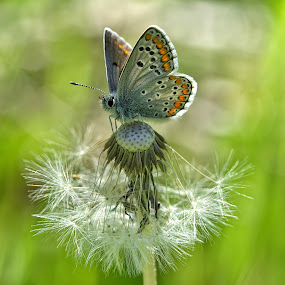 Butterfly by Roberta Sala - Animals Insects & Spiders ( wild, butterfly, macro, macrophotography, nature )