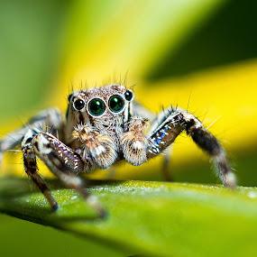 Spider by Kunal Karmakar - Animals Insects & Spiders ( predator, macro, arthropod, compound eye, spider )