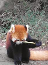 Photo: I'm a red panda