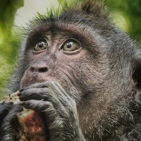 Monkey by Frans Priyo - Animals Other
