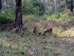 Photo: Chital in a forest glade