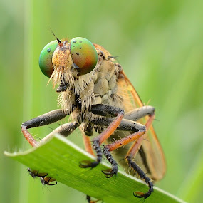 i'm ready to eat by Ardhy Muhammad - Animals Insects & Spiders ( extreme, spider, insect, robber, animal )