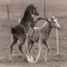 go away by Glenys Lilley - Black & White Animals ( filly, horse, rearing, foal )