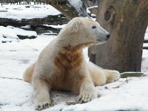 Photo: Glueckliches Schneebaerchen Knut :-)