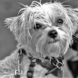 by Pam Satterfield Manning - Black & White Abstract ( fur, hdri, pup, determination, abstract, portrait, eyes, face, lomo, bokeh, animal, black and white, dog, pet, furry,  )