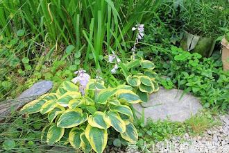 Photo: 拍攝地點: 梅峰-溫帶花卉區 拍攝植物: 玉簪 拍攝日期:2013_07_04_FY