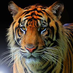 Self Portrait by Yohanes Arief Dewanto - Digital Art Animals ( wild, wilderness, tiger, digital art, animal )