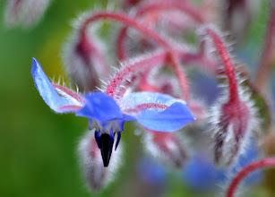 Photo: Borago officinalis, (Boraginaceae)