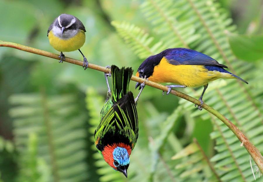 Batbird by Itamar Campos - Animals Birds ( ( female), coereba flaveola, tangara cyanocephal, euphonia violacea ( male),  )