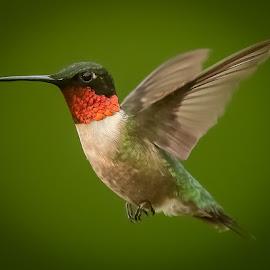 by Mike Craig - Animals Birds ( in flight, hummingbird, male )