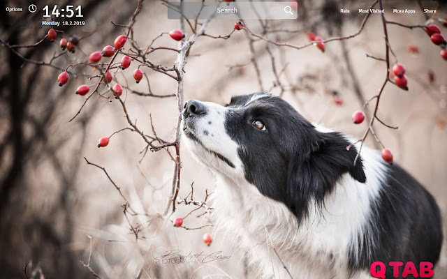 Border Collie Wallpapers Theme New Tab