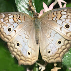 unknown butterfly