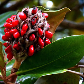 Full Magnolia Seed Pod by Dave Walters - Nature Up Close Trees & Bushes ( nature, tree, lumix fz200, seeds, magnolia,  )